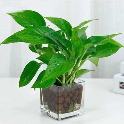 小绿萝铜钱草水培植物绿植盆栽办公室桌面内盆景