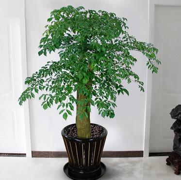 大型幸福树盆栽植物 客厅办公室花卉