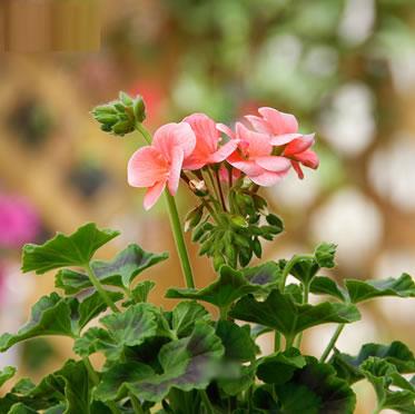 天竺葵庭院阳台盆花卉栽香草植物天使之眼带花植物盆景