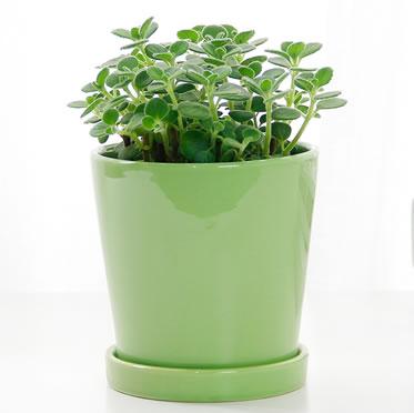 碰碰香小盆栽小型多肉植物室内桌面绿植花卉