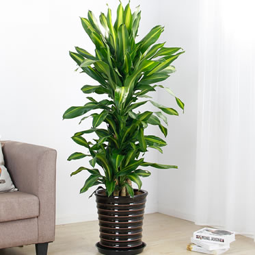 巴西铁盆栽 大型客厅办公室绿化植物 观叶盆景