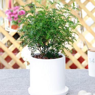 清香木盆栽时尚陶瓷盆栽室内桌面防辐射净化空气绿植